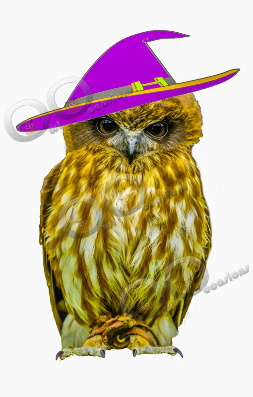 boobook owl Ninox boobook-6889 witch hat copy - Owls of the World