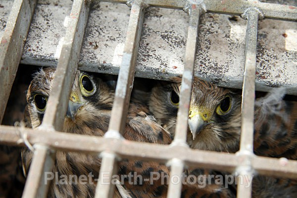 Clutch of Kestrel Chicks In An Unusual Nest - UK Wildlife