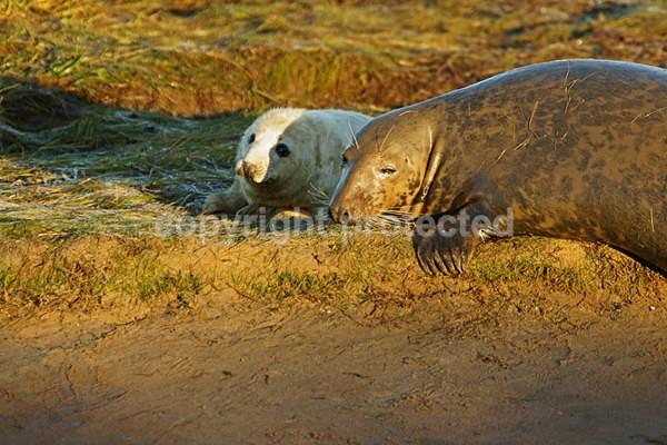 Grey Seal Pup & Mum (Donna Nook) - 2791 - Donna Nook