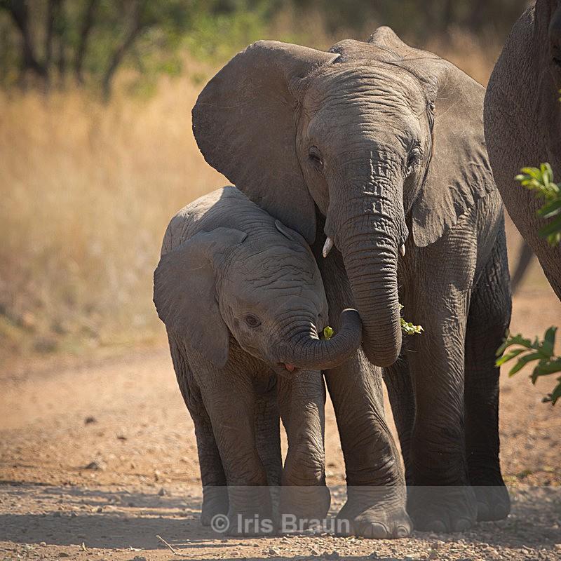 Siblings - Elephant