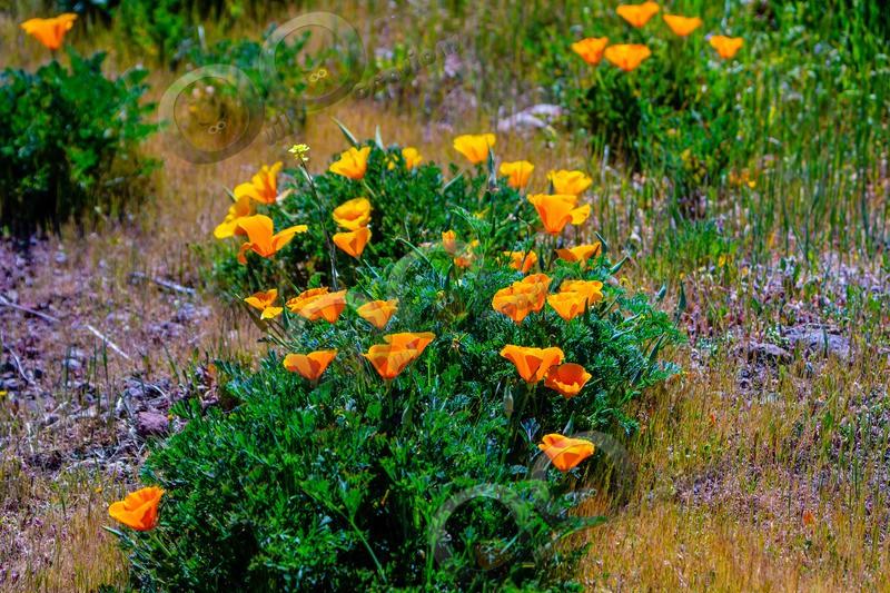 Californian poppy Eschscholzia californica-5521 - Plants and trees
