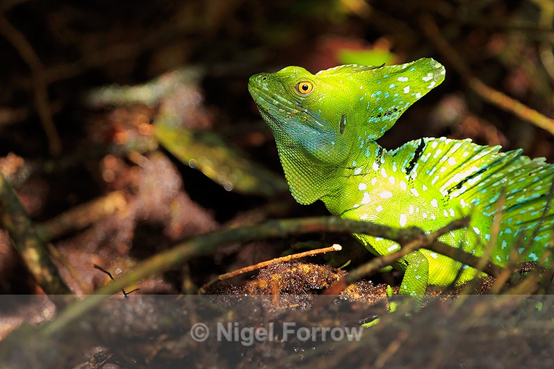 Plumed Basilisk illuminated by a shaft of sunlight at Tortuguero - REPTILES & AMPHIBIANS
