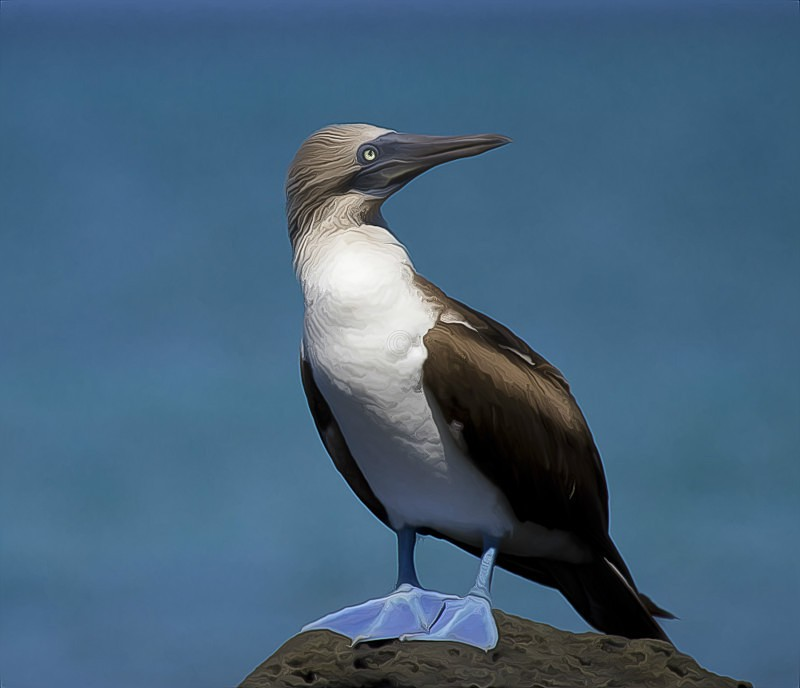 Blue-Footed Booby - CrazyCat Imagery