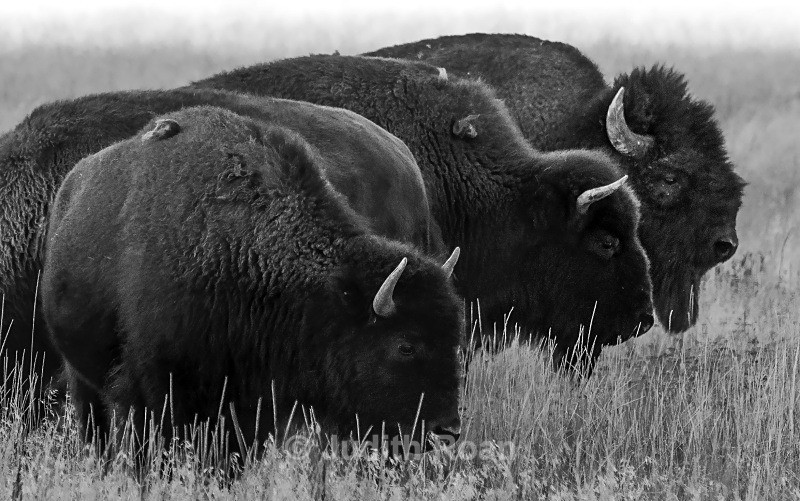 Bison Four - Yellowstone