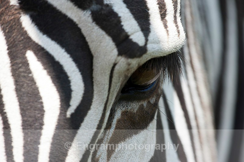 Zebras Eye-R2768 - Animals (Fauna)