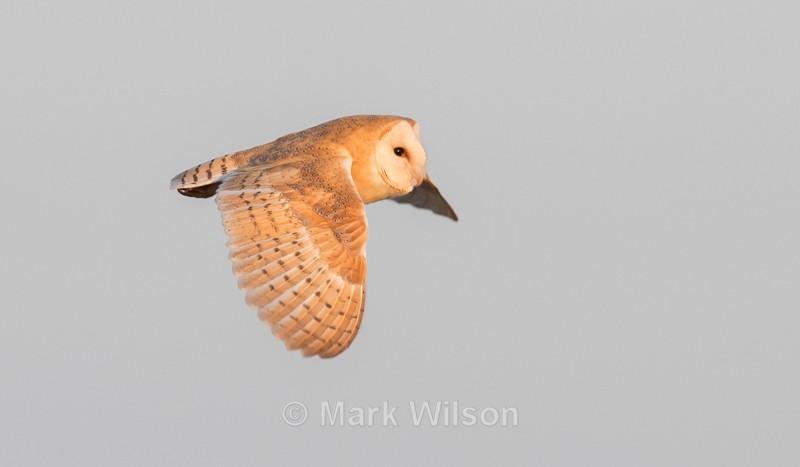Barn Owl - Birds of prey & owls