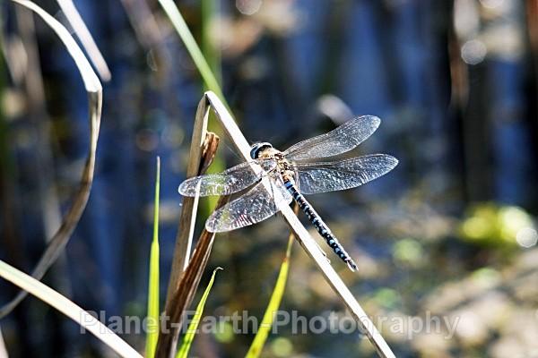 - Dragonflies