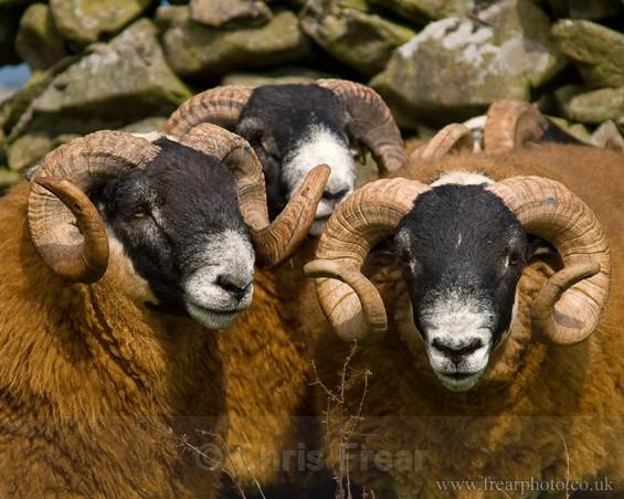 3 Rams - Rural Life