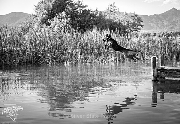 Zeke leaping from the dock - 'Wildlife' (Big & Small)