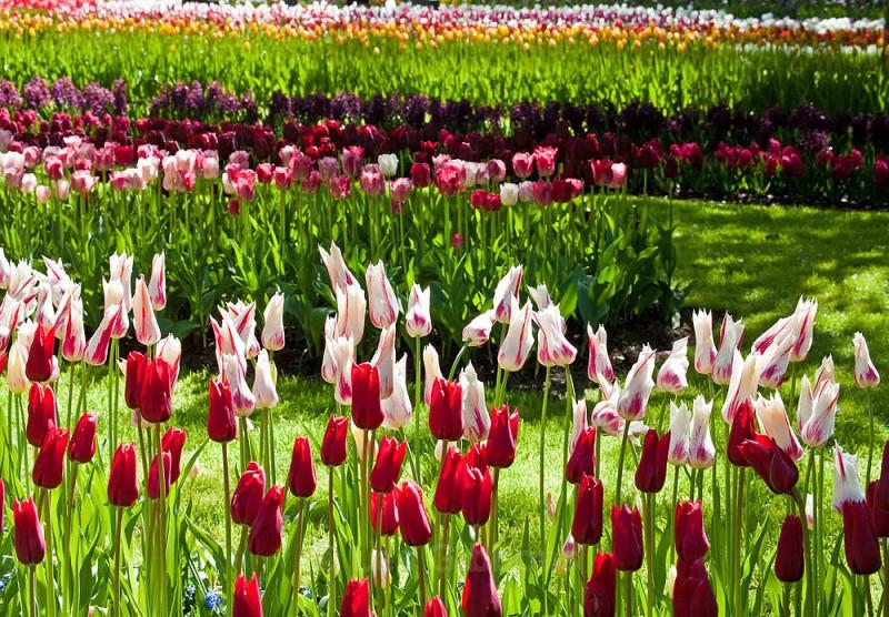 tulip assortment - Amsterdam spring
