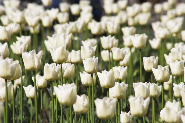 white tulips2 - Prague