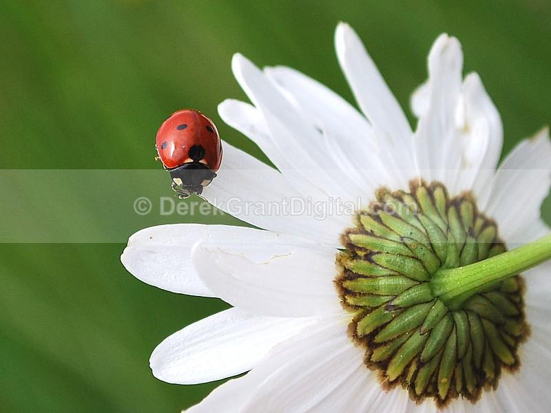 Coccinella septempunctata - Bees, Beetles, Bugs
