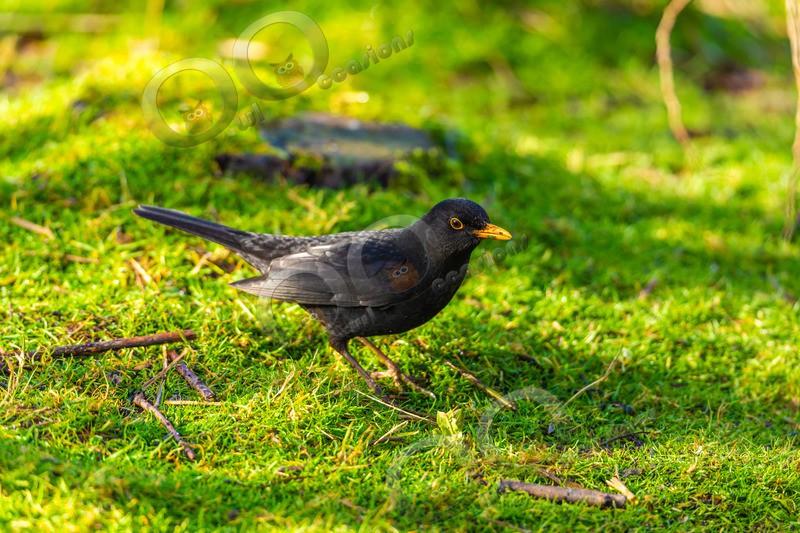 Blackbird Turdus merula-1856 - UK birds