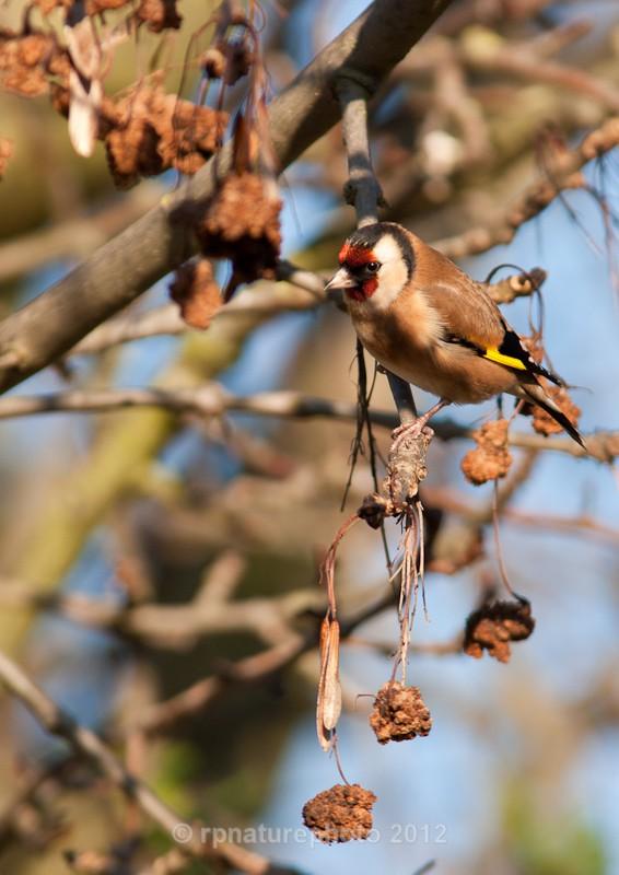 Goldfinch - Carduelis carduelis RPNP0067 - Birds