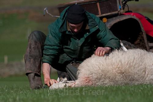 8 - The Lambing