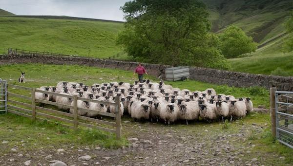 1 - Shearing at Glenwhargen Farm
