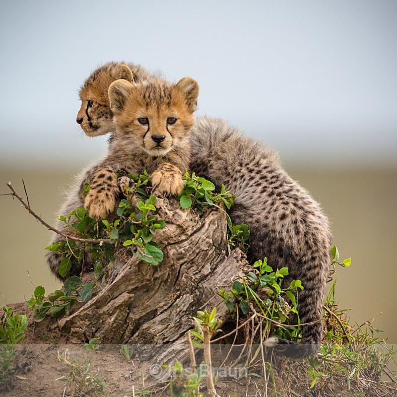 Little Boys - Cheetah