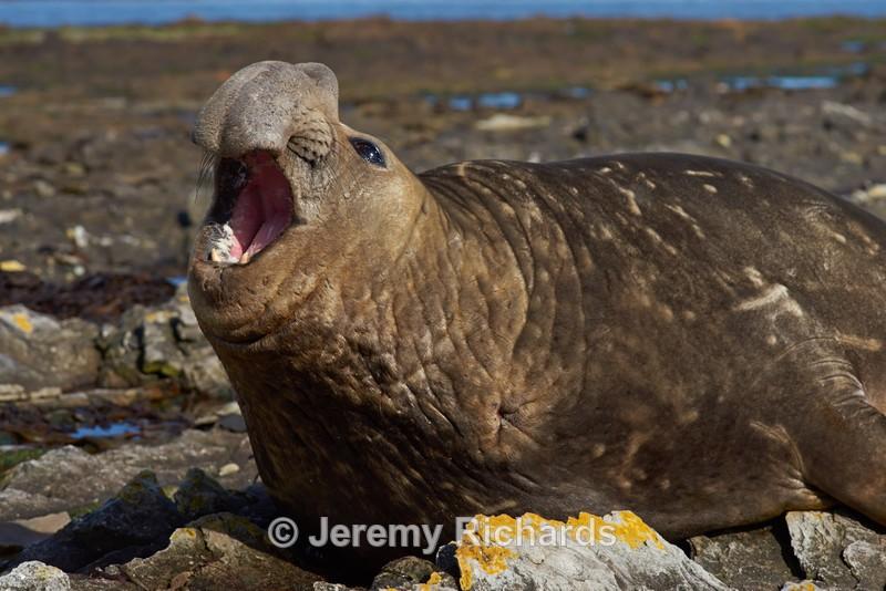 Male Elephant Seal - Carcass Island