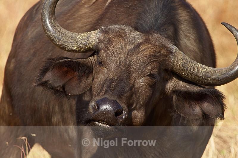 Buffalo close-up - Buffalo