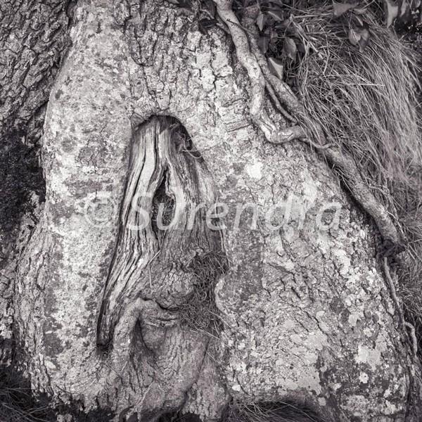 Bark # 16D - Bark Series 1 樹皮