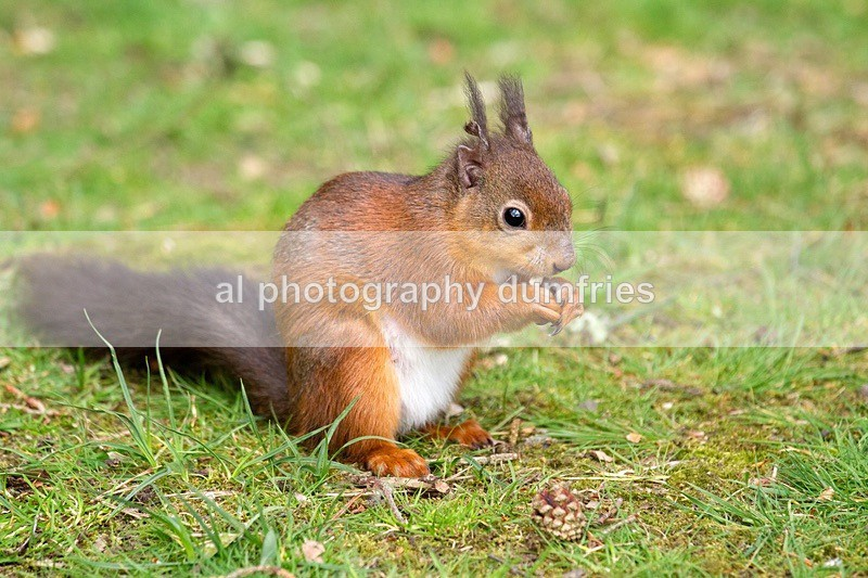 Red Squirrel 2 (disambiguation). - Eskrigg Nature Reserve Lockerbie