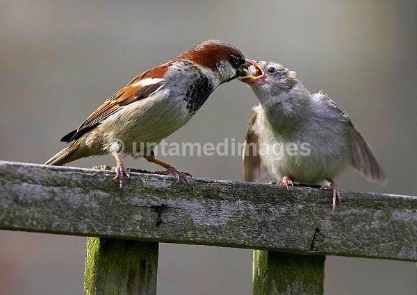 House sparrow - United Kingdom