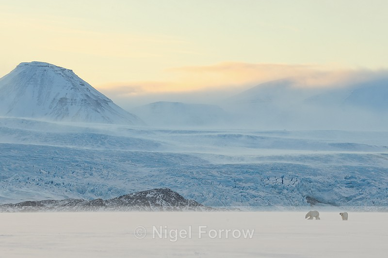 Polar Bears at dawn, Svalbard, Norway - Polar Bear