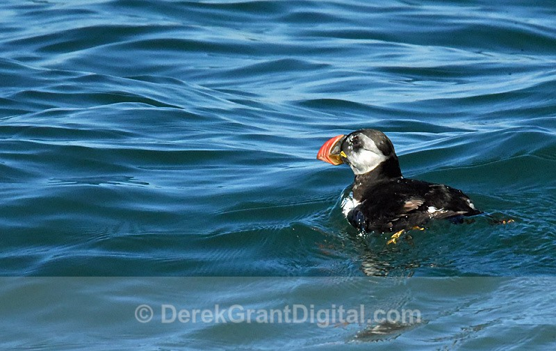 Atlantic puffin Fratercula arctica common puffin - Birds of Atlantic Canada