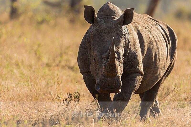 Head on - Rhino