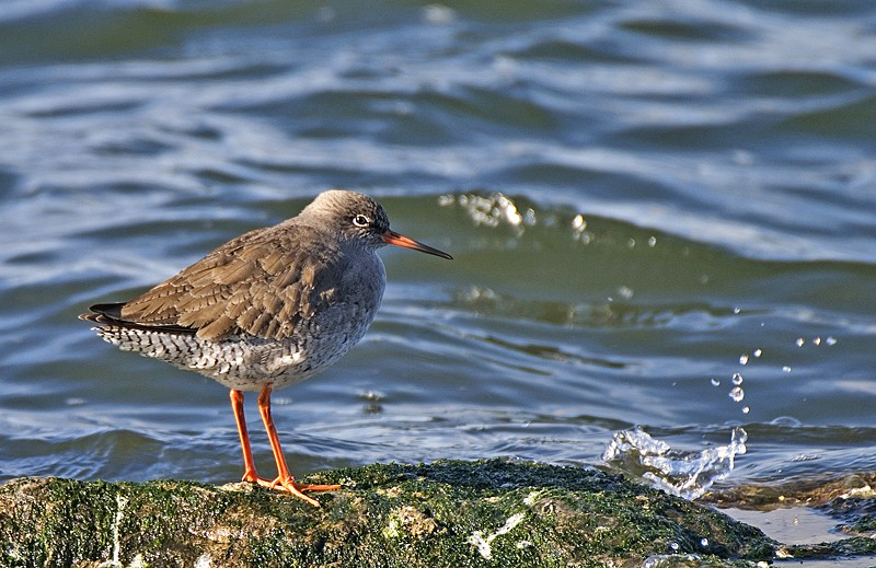 Redshank - Latest Images