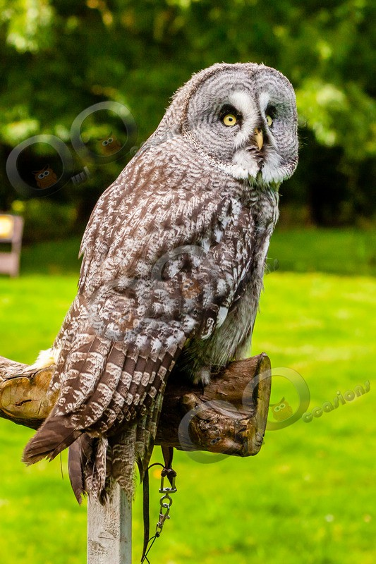 great grey owl stryx nebulosa-9841 - Owls of the World
