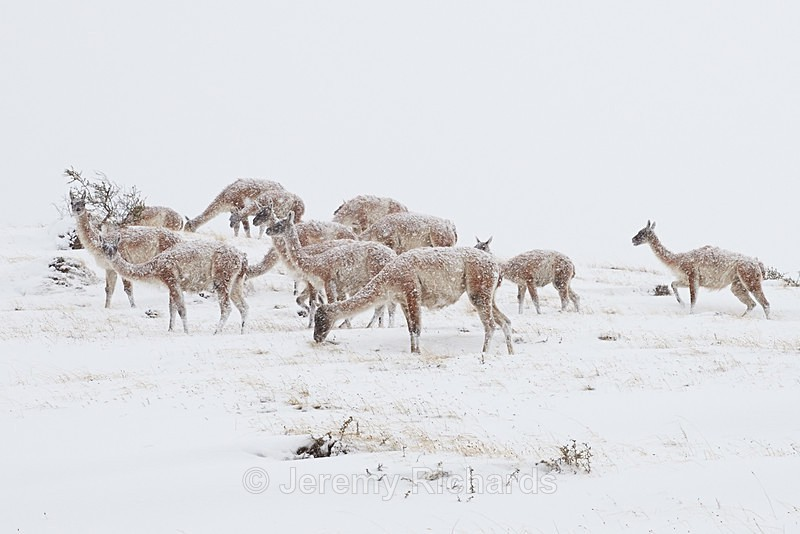 Guanacos in a Snowstorm - Torres del Paine National Park