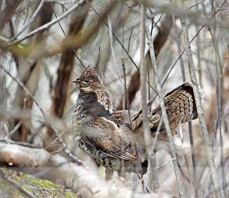 The Gallant Grouse - Birds of Atlantic Canada