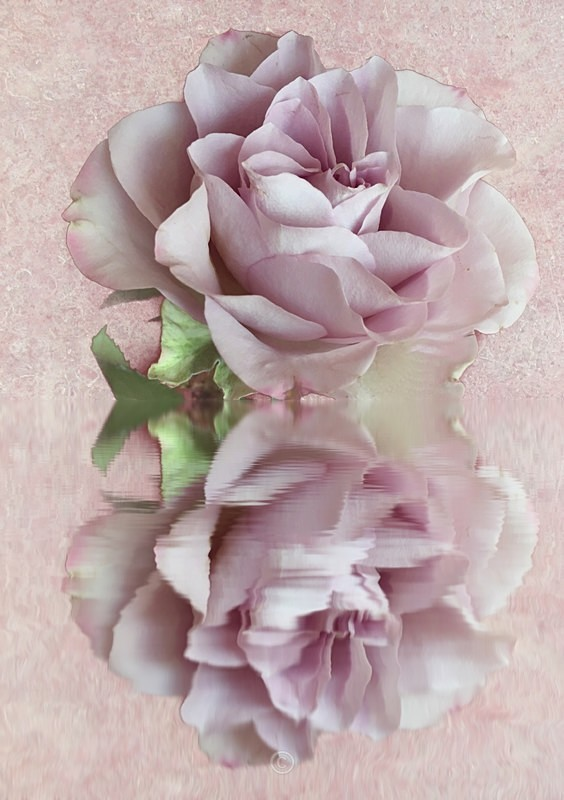 Rose Reflection - FLOWERS