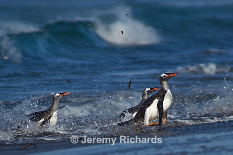 Gentoo Penguins - Sea Lion Island