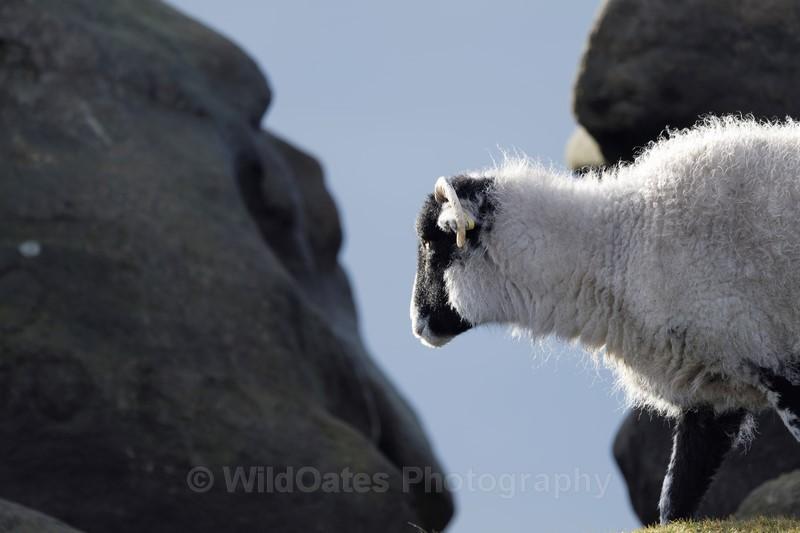 Sheep Peak District Jan 2018 - Recent Images