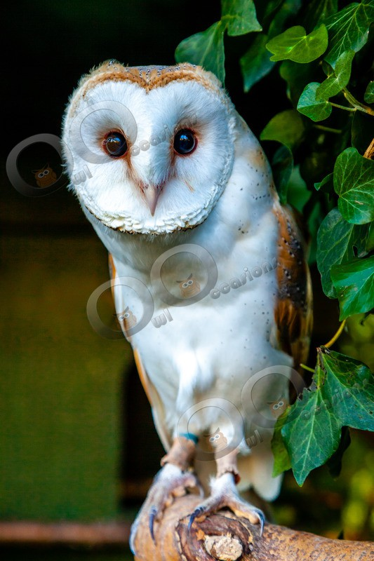 barn owl tyto alba-1073 - Owls of the World