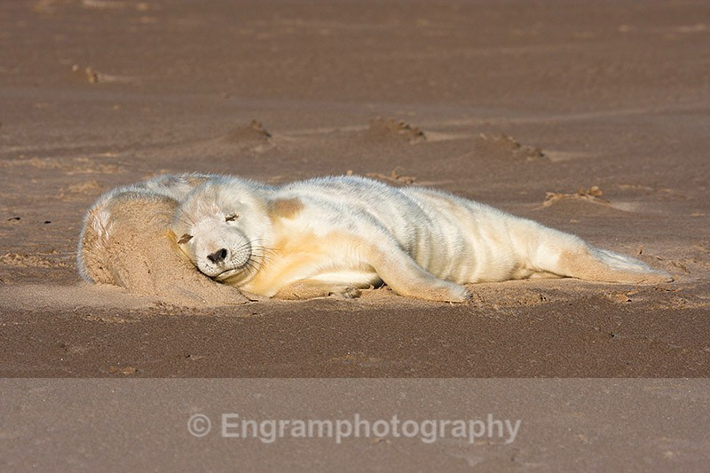 Sleepy Seal Pups-R1203 - Animals (Fauna)