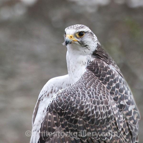 Peregrine Falcon - Wildlife and Animals