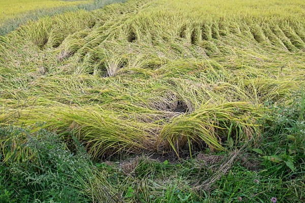 13 Rice Field after Heavy Weather - Autumn Rice