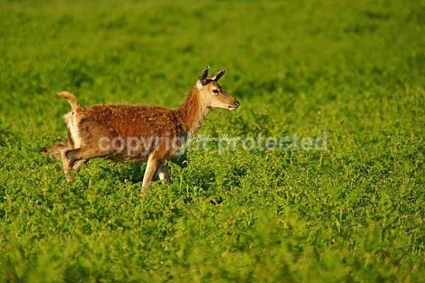 Red Deer - Bradgate Park - Bradgate Park - Deer & more