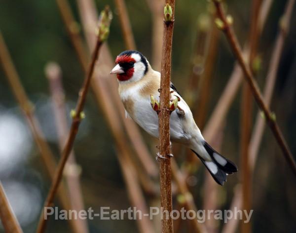 Goldfinch 3 - UK Wildlife