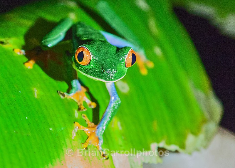 Red Eyed Tree Frog, Costa Rica - Costa Rican Wildlife