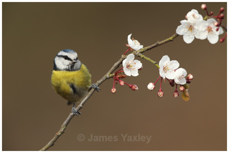Blue Tit perched on Spring Blossom - British Birds