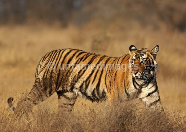 Royal bengal tiger - 1 - India