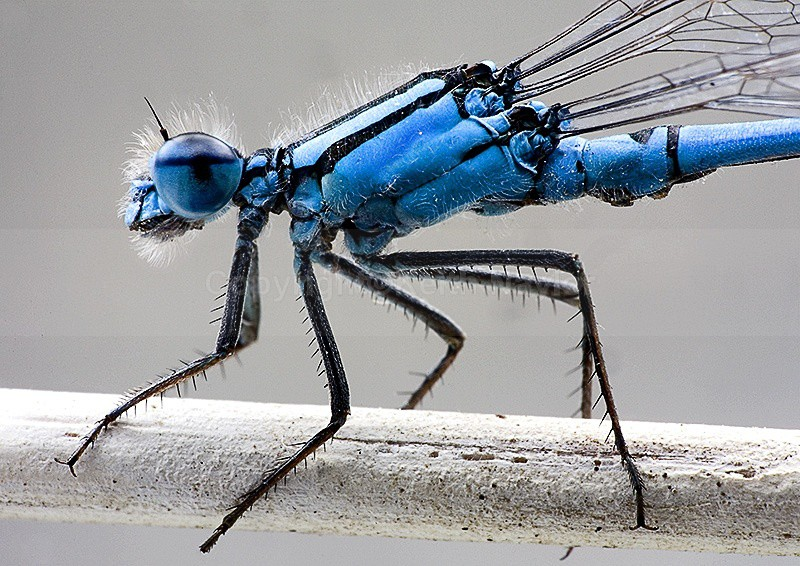 Common Blue Damselfly - 2006