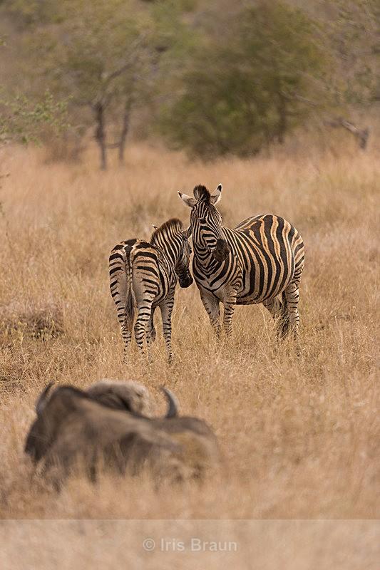 Tone in Tone - Zebra