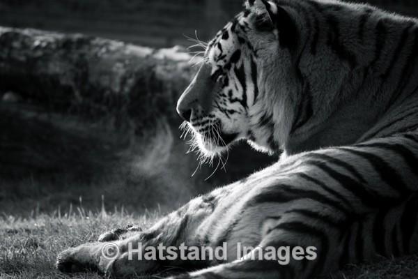 Tiger - nature