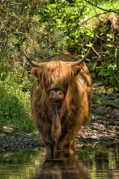 Frear-Highland-Cow - For T&C