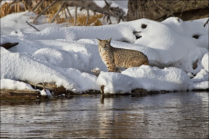 Bobcat - Yellowstone